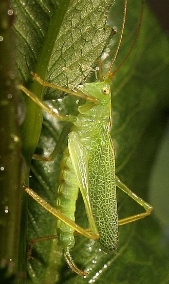 Katydid? - Meconema thalassinum - male