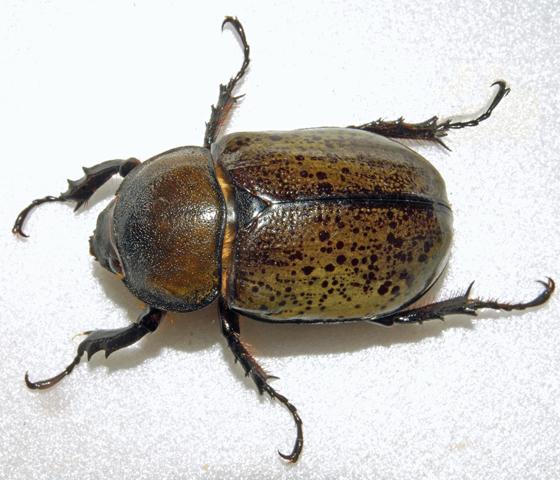 Eastern Hercules Beetle Dynastes Tityus Bugguide Net