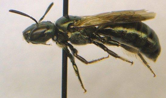 Bee - Ceratina calcarata - female
