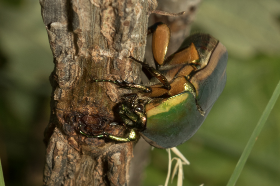 Cotinus nitidus - Cotinis nitida