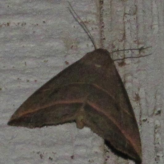 Looper Moth sp? - Colobochyla interpuncta