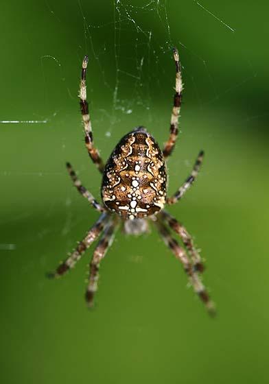 garden spider araneus diadematus - Garden Spider