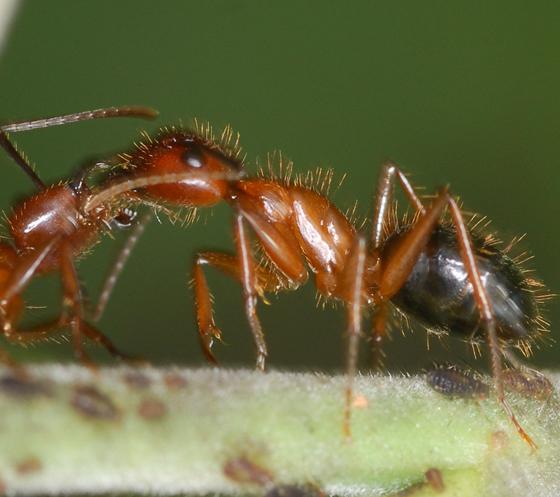 ant - Camponotus floridanus
