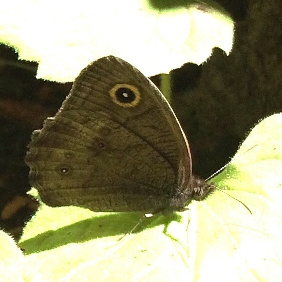 Brown Eyespot  Butterfly - Cercyonis pegala