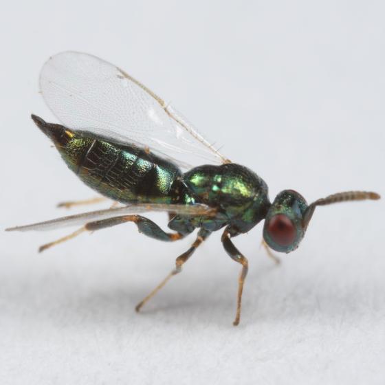 Chalcid parasitoid of Disholcaspis quercusglobulus - Ormyrus - female
