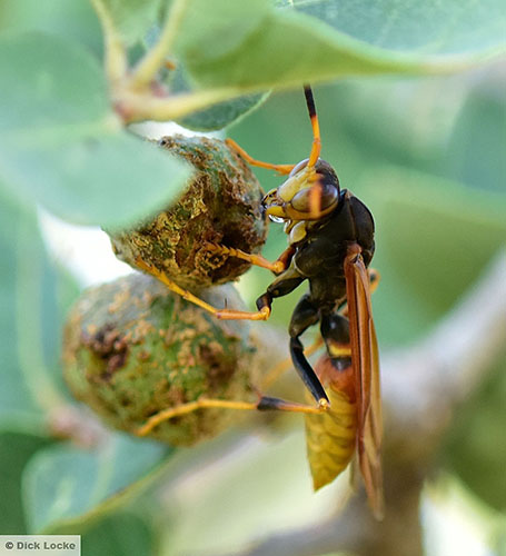Paper Wasp and Gall: Polistes comanchus comanchus (male) - Polistes comanchus - male