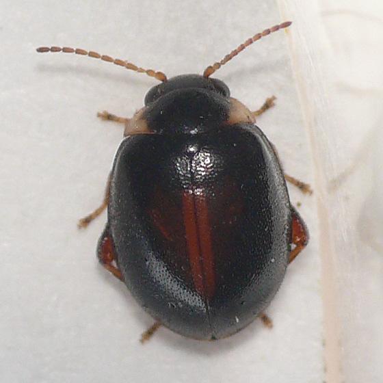 Marsh beetle - Scirtes orbiculatus