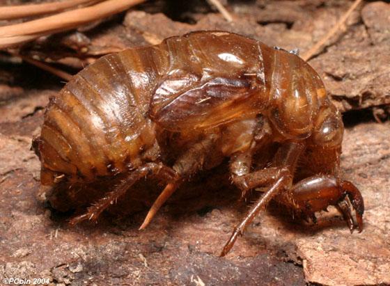 Swamp Cicada--shed skin - Neotibicen tibicen
