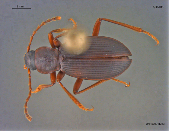 Lyrosoma opacum - male
