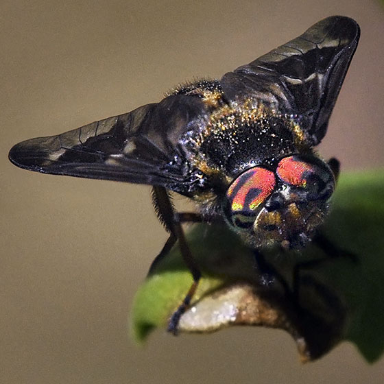 Deerfly - Chrysops - male