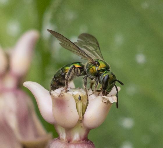 Small green metallic wasp (?) - Augochlora pura