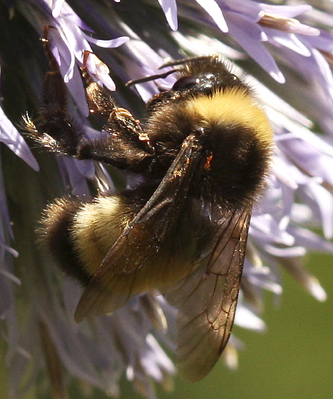 Which Bumble Bee Please? - Bombus terricola - female