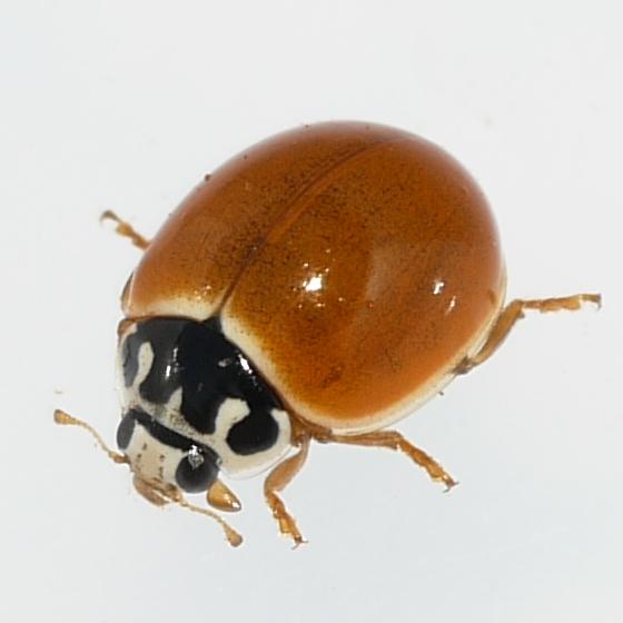 Polished Lady Beetle - Cycloneda munda - male