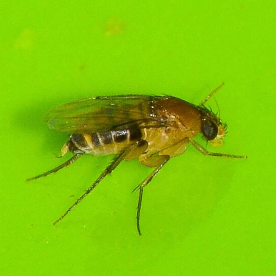gnat/fruit fly