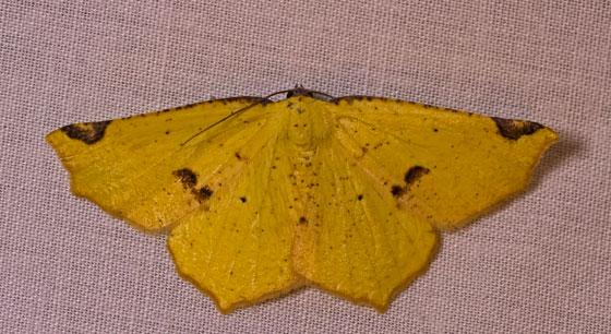 MothVariableAntepione_Antepione_thisoaria07152019_GH - Antepione thisoaria - female