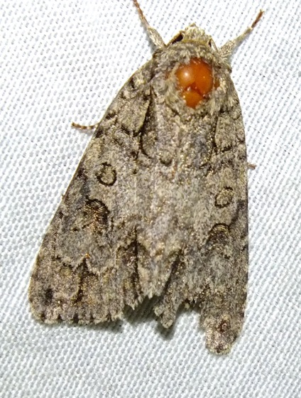 Unknown Moth  - Acronicta