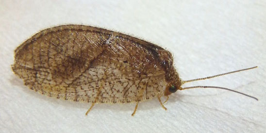 Brown lacewing - Megalomus