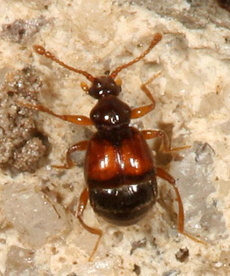 Ant-loving Beetle - Reichenbachia