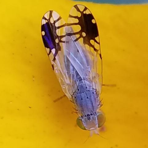 Possible Trupanea californica - Trupanea vicina