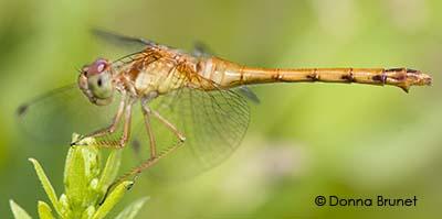 Dragonfly - Sympetrum vicinum - female