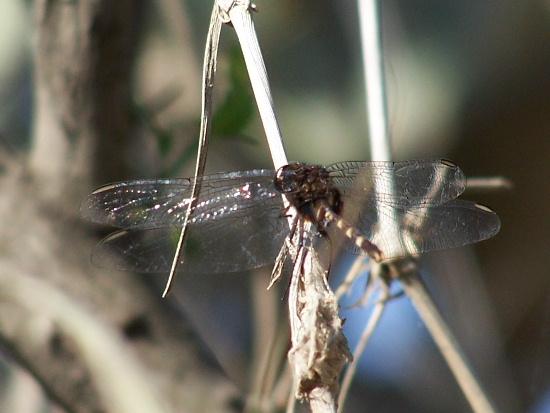 Pintailed Pondhawk - Erythemis plebeja - male