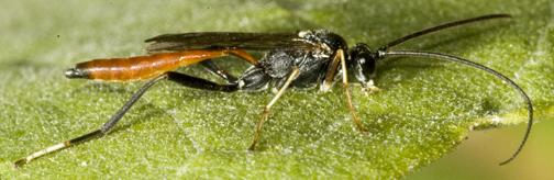 5015066 Ichneumon - Cryptus albitarsis - male