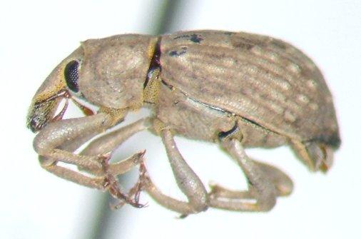 Krusty the weevil - Lissorhoptrus oryzophilus - female