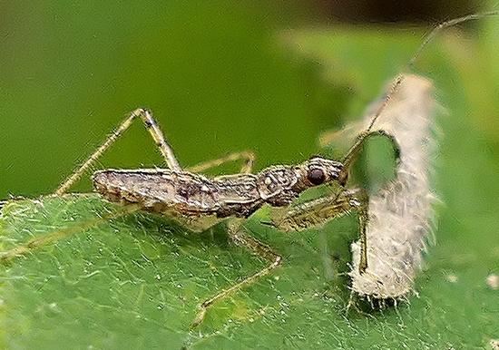 damsel bug - Hoplistoscelis