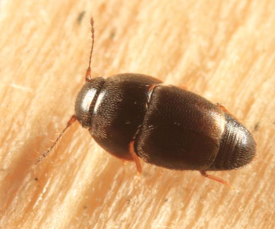 Featherwinged Beetle - Acrotrichis