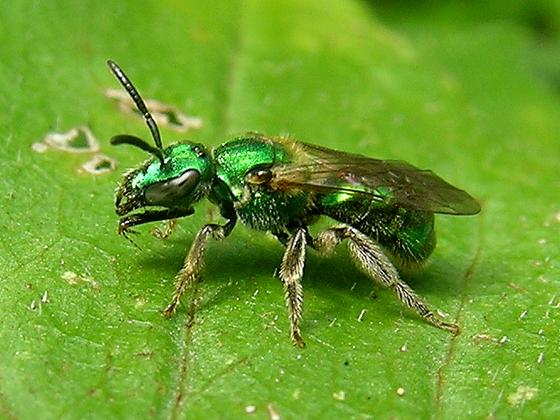 Sweat Bee (Augochlorini) - Augochlorella aurata
