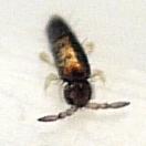 springtail - Lepidocyrtus