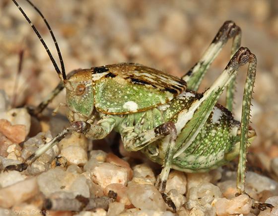 katydid - Aglaothorax ovata - male