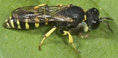 5011828 - Crabro - male