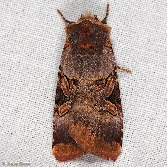 moth - Xestia oblata