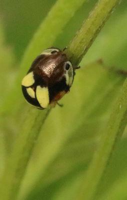 strange plant or leafhopper - Clastoptera proteus