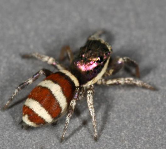 voucher image - Salticus palpalis - female