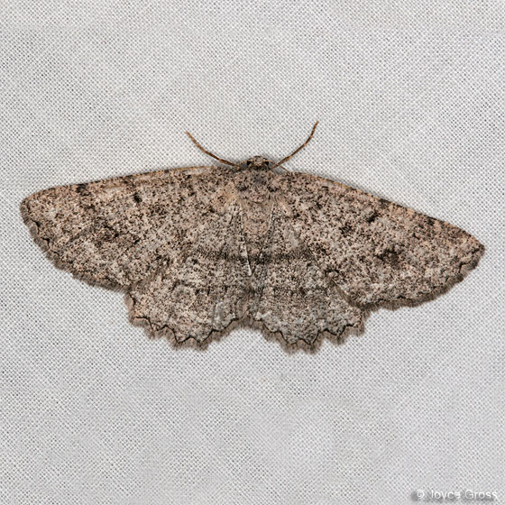 moth - Hesperumia latipennis - female