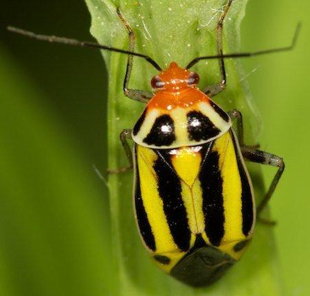 Plant Bug - Poecilocapsus lineatus
