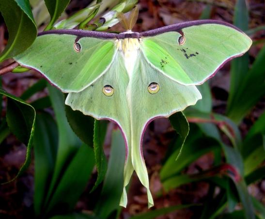 Luna Moth 2 - Actias luna