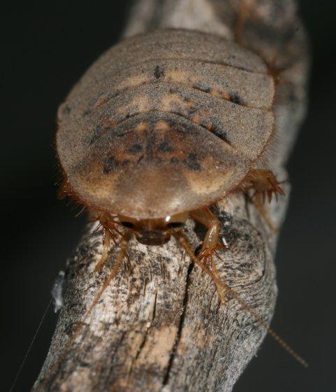 Cave cockroach b - Arenivaga - female