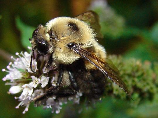 Bumble bee - Bombus griseocollis - male