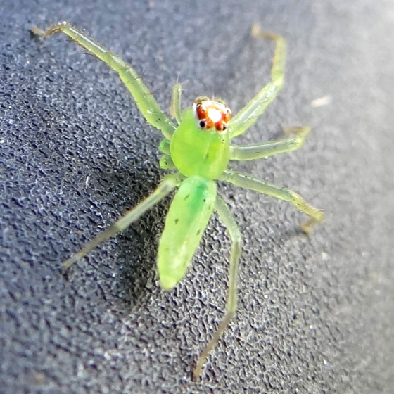 Spider - Lyssomanes viridis