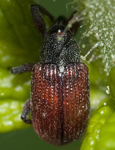 Snout Beetle - Anthonomus