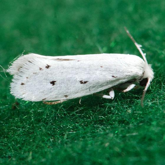 Moth for ID - Prodoxus quinquepunctella