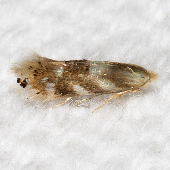 Birch Skeletonizer Moth - Hodges#0560 - Bucculatrix canadensisella