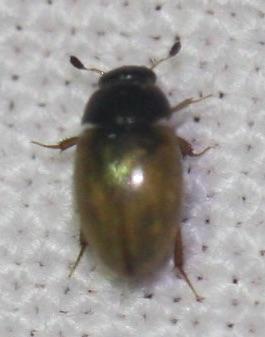 Sphaeridiinae - Cercyon quisquilius