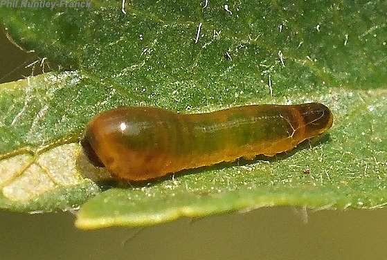 pear slug - Caliroa cerasi