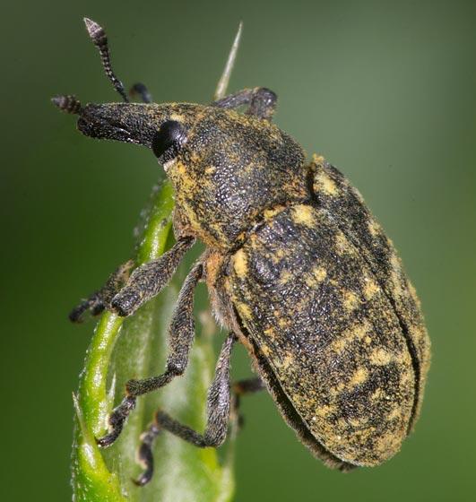 Snout Beetle - Larinus planus