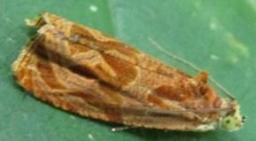 moth - Olethreutes nitidana