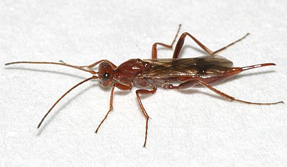 Proctotrupid wasp - Proctotrupes pallidus